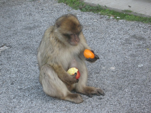 Gibraltar ape citizen.